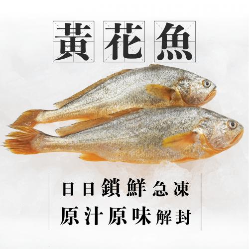 魚欄直送 - 深海黃花魚1條裝 [220/2-4人份]