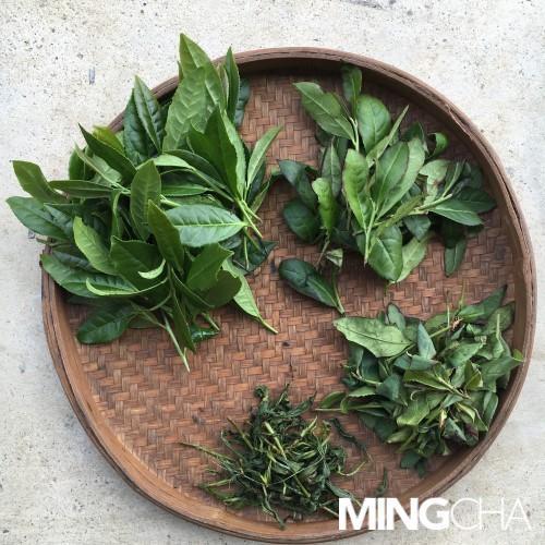 明茶房 - 古方鐵觀音(馬騮搣)